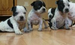 2 Male left black and white American Bully pup contact 4 info
