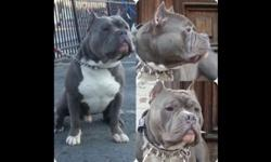 2 females 1 male blue nose bully puppies available for sale This ad was posted with the eBay Classifieds mobile app.