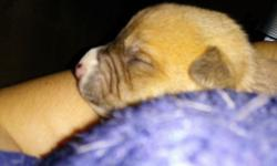 5 feamles ,3 male american staffordahire puppies