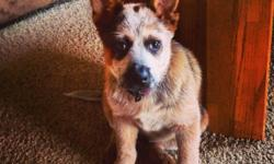 "Australian Cattle Dog (Blue Heeler) - Axle - Medium - Young This is ""Axle"" he is an approximately 2 year old, Shar Pei / Australian Shepherd mix that had been running at large for 5 plus days before he was brought into the shelter. He loves to be with"