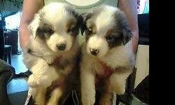 i have 2 male blue merle puppies and the rest are all female, one blue merle and 3 black tri. will be very joyful dog, they are ready to go now. both parents are here. first shots and wormed, tails docked, vet checked,come with papers FEMALE BLUE MERLE IS