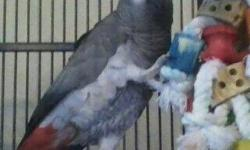 Hello, I have 2 baby Congo African Grey Parrots for sale. They are currently 4 weeks old. Sexing is available. Please call for more info. Shipping is available at buyer's expense. Serious inquirers are welcome to visit my aviary VIA APPOINTMENT ONLY.These