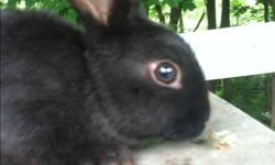 6 pure black baby bunnies( lop-eared miniature Rex cross) for sale males and females 1 has 1 white paw they are very friendly held since babies would be a great first pet call (585)409-1682 for more info This ad was posted with the eBay Classifieds mobile