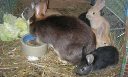 3 baby bunnies part new Zealand/satin.....they eat on their own mom is not nursing them anymore....call or text at 1-845-464-2888 pete