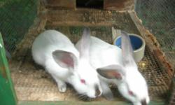 2 baby new Zealand bunnys.....born may12/14 contact pete 845-464-2888