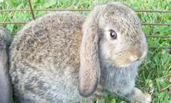 I have one baby mini Holland Lop rabbit still available, about nine weeks old. This little bunny will be between three and four lbs. when fully grown. He has been handled regularly and is very friendly, he will make a great pet! Adopt this bunny for $15.