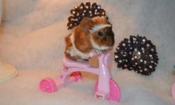 I have two beautiful baby guinea pigs that ready to go now! Please visit our website at: www.thislittlepiggiewenthome.weebly.com