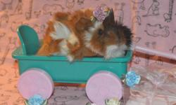 Baby guinea pigs have finally arrived! Visit our website @ www.thislittlepiggiewenthome.weebly.com
