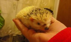 I have a male hedgehog born 10/13/14, looking for a new home. He is a high white pinto with an interesting facial marking, much like that of a siamese. Very friendly, handled all the time. Ready for his new home! Mother and father both pedigreed.