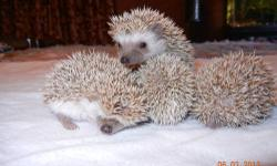 We have 2 baby hedgehogs (boy & girl), they are 6 weeks old and ready for adoption. They have been handled since day one. Please email for more information if interested. Serious emails only. Thanks.