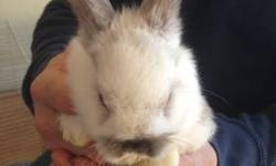 hello, I am a breeder at Yonkers,NY. I specialize in holland lops:) for more check out my website. belloconiglio.wix.com/belloconiglio. i am selling 3 baby boys they are 8 weeks old :)