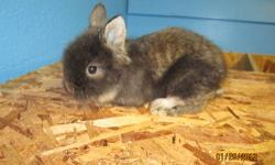 Pedigreed Netherland Dwarf and Lionhead babies will be ready for their new homes soon. The third and fourth pictures are of mom and dad, they are NOT for sale. Please see my website for more information http://kellyskrittersrabbitry.weebly.com , or email