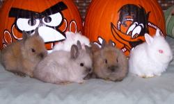 12/16/2012 Baby lionhead Bunnies for Christmas presents!! free to good homes gray, and brown very cute, great with kids, ready now call 845-750-6542 ask for Joe.