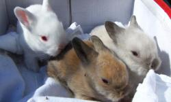 Cute and Adorable Baby Lionhead Bunnies ready on 06/25/2014 call and reserve yours today 10.00 each call 845-750-6542
