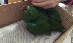 I have two baby male Eclectus available. 8-9 weeks old now. Eating formula. Introducing fruits and veggies $1100 each. Call text or email 516-418-6481