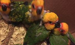 I have a few more sun conure babies available. Ages range from 6 to 12 weeks old. All super friendly. Will make great pets. $350 each or get a pair for $650 Call text or email 516-418-6481. Available to view anytime in queens Also have baby Kakarikis,