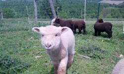 I have two Babydoll Southdown whether lambs weaned and available for sale. They are two to three months old. I have one black, and one white. ATTENTION WOOL SPINNERS, The white one is very unique. He has beautiful cashmere like wool and is more friendly.