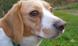 "Beagle - Bessie - Small - Adult - Female - Dog Bessie is a friendly, social, little girl. She is a little shy at first, but warms up quickly. She loves the company of people and enjoys going for short walks. She would make a nice ""about town"" dog, going"