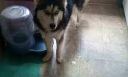 OBO: Lively, smart, and affectionate husky. She loves to snuggle and is great with kids and other dogs. She is not fixed and has recently gone thru her first cycle. I have the papers from the breeder so she can be registered. She would be a great addition