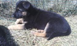 Female AKC German Shepherd puppy, just turned 8 weeks on April 7th, she has been dewormed, has had first puppy shots, AKC registration papers, and has been vet checked. She is from a litter of 8. She is to good home only. Has been farm and family raised