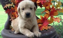 These are very precious puppies! Meet both parents, get an idea of what your puppy will look like as an adult. The sire is OFA Hip certified with a GOOD Rating. The puppies are raised in the country with our large family, and well socialized. We love our
