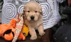 We have beautiful Golden Retreiver puppies available for their new homes on January 31st. The puppies are absolutely adorable! Please let us know soon if interested in reserving a puppy. We require a $200.deposit to reserve a puppy. The puppies will be