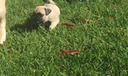 100% Purebred Pug We Have New Litter Of Puppies. All Puppies Come With Up To Date Vaccination,Dewormed Please Call 516 526 8688