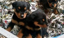 I have available 3 male AKC Rottweiler puppies that will be ready to go on Tuesday July 19th. They are Health certified and have been dewormed and have their first set of vaccines. They are micro chipped and tails and dewclaws have been removed. Almost 30