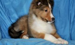 Manny is an exceptionally good looking Sheltie puppy as well as smart. His Sire's dad is a brother to the 2009 American Shetland Sheepdog Association's Winner's Dog. Manny's Great, Great Grandmother on the dam's side was the N.Y.S. obedience dog of the