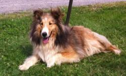 We have one very beautiful 9 month old AKC Shetland Sheepdog female available. She is a very happy girl. She has all her shots to date including Rabies. Health guaranteed. She is being offered as a pet on a limited registration for $650. Other older