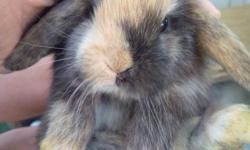 Beautiful baby holland lop female ,very sweet and friendly ,please tex me 718-810-7343,thanks