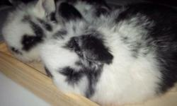 Beautiful baby holland lop bunnies ,very sweet and friendly they make great pets ,please tex me 718-810-7343 ,thanks