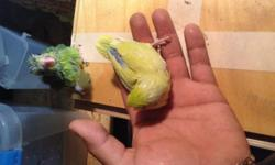 I have beautiful baby parrolets on sale... ONLY males. Green ones are on sale for $70 and blue and yellow ones are for $90. They are about 2-3 months old, Hand fed, and ready to breed. Please serious inquiries only.local pickup
