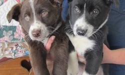 These are absolutely adorable miniture Border Collie puppies...farm and family raised in the country,very well socialized. They are all vet checked and had their first vaccination and a 3rd dewormer. We know you will fall in love with these puppies the