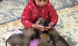 Bullmastiff : We have a litter of Bullmastiff puppies for sale, 9 females & 2 males. Both parents on premises with a championship pedigree. They are great family pets & are raised on our family farm with our children! Puppies will be ready for their new