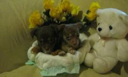 * Please note these babies are located in Bridgeport Connecticut* If your looking for a chihuahua baby to spoil and love look no further . My aunt in Connecticut currently has a beautiful litter of babies who are ready to be loved! These beautiful babies