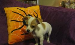 Three beautiful chihuahua babies left. One boy and two little girls left. They are all very loving and affectionate little babies that want nothing more then to have human love and attention.they are wee weep ad trained and eating on their own. If you