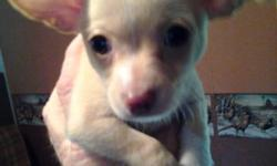 I have two beautiful chihuahua puppies. One brown & white female and one light fawn male. Purebread standards w/o papers. Parents on premises to view. Puppies have first shots- wormed and vet checked. Ready to go. Female $350 male $300 call 315-237-3930.