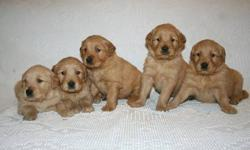 We have some very precious puppies that would love to become a part of your family...some that are lighter golden and we also have the darker golden coloring,very adorable! We specialize in raising purebred golden retrievers with outstanding temperaments