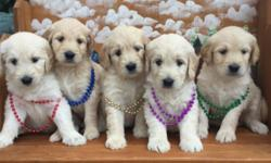 We are very pleased to share these Goldendoodle puppies with you. Super temperaments, excellent health history. Pups are family raised and loved, we want only the best forever homes for these precious puppies. There are 5 females and 6 males. Born