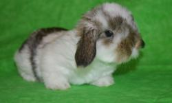We have a few litters of mini lop babies available for deposit. Please contact us if you would like to reserve a bunny.