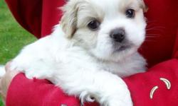 One male Peek-A-Poo puppy looking for a great home. $325. Mom is a Peek-A-Poo and Dad a pure bred Pekingese. Both are family pets that have one litter a year together. He will leave with a full vet check up, first set of shots and a Health Certificate. He