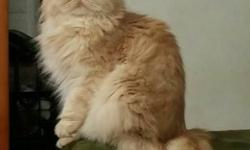 Beautiful pure breed Persian female cat looking for a loving forever home. She is very loving. One year old. Will only give to someone who will get her spayed. Call 718 300 8758.
