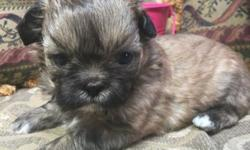These gorgeous puppies have a very nice personality and are very gentle and playful. There's two males and two females in the litter. Raised with kids and other dogs. All shots and deworming will be UTD. Mom is a Shih Tzu and Long Haired Chihuahua mix and