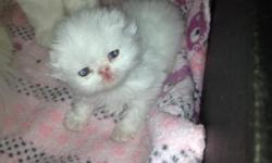I have a beautiful white male persian kitten for sale. He is adorable and very playful. He'll make a great addition to any family. If you're interested please call (718) 316-8356/(347) 492-3980. Ask for Arturo.