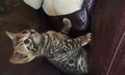 2 female and 1 male bengal kitten for sale from the first week of August, only to families that willing to send me pictures and informations on how the cats doing in the first couple of months. $800 /each or $1000 with shots and papers !