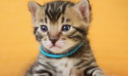 We are a small home cattery of good quality Bengal cats. We breed Bengals according TICA standards. Our cats are our family. The kittens growing up with our kids. They are very social and lovable. Most important, we pay a lot of attention for the health