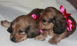 Want to get your loved one the best Valentine's Day gift ever? Look no further! It's the gift that keeps on giving (lots and lots of love and kisses)! We have three, adorable, long-haired, shaded English Cream, AKC miniature Dachshunds available for
