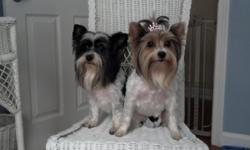 Biewer yorkie male and female adults need to be sold together tried separating them and they cried, so I'm am selling them together both fixed and both 6 yrs old very good dogs would love for someone to get them with a fenced in yard.Love kids other dogs