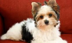 I have a darling Champion Sired Biewer Yorkshire Terrier available to a qualified home. This is a rare new hypoallergenic, non-shedding toy breed that is known for their sweet disposition and charming antics. She is charting just over 4 pounds full grown